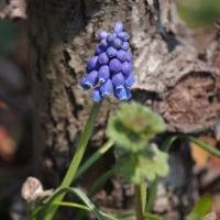 群青色のムスカリ