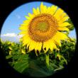 地上の太陽 西陽の青空に映えて