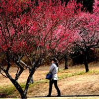 春が匂いて梅の花