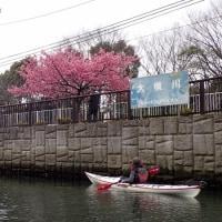 河津桜はピークに。