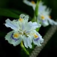 ムサシノキスゲが咲き出しました・浅間山公園