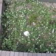 0720 増えました、姫岩垂草。