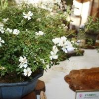 「おはようの花」  屋久島野バラ  6月