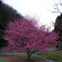 今日の桜(^^)/