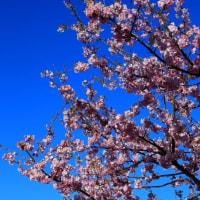桜越しの富士山