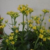 窓辺で咲いたカランコエ
