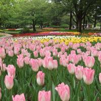 チューリップが見ごろな昭和記念公園