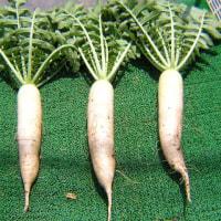 大根の栽培2017年春間引き、害虫対策、収穫