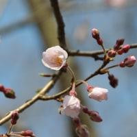 MFから & わが家のヒョウタン桜が咲きました。