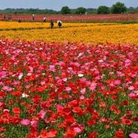 暑さにも元気、河川敷埋めるポピーの花々