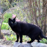 黒猫の庭~水仙~