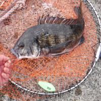 黒鯛のお腹に溜まったエアーをやさしく抜く方法