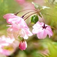 花かいどう (花 4359)