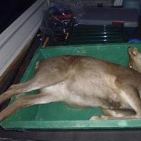 1月17日有害鳥獣捕獲「鹿」
