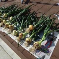 たまねぎの収穫と簡易キュアリング