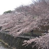 2017年4月5日 恩田川の桜と娘アンコの中学校入学式