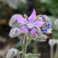 ルリジサの花