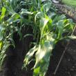 夏の収穫物の確認