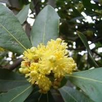 季節の花「月桂樹 (げっけいじゅ)」
