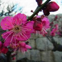 寒梅咲く大阪城梅林