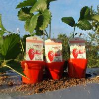 苺の定植を終了する。