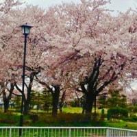 よこて桜まつり ~2017~