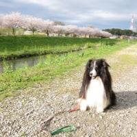 満開の桜の中の散歩