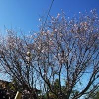 四季桜が満開