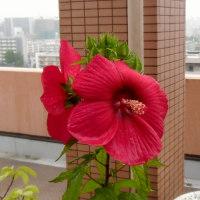 タイタンビカスの花、初代2輪咲く