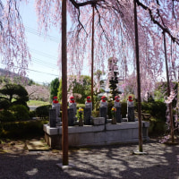 周林寺の雪洞(ぼんぼり)桜~甲州市①