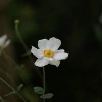 また、庭に秋が来て・・・・  野紺菊の季節       2016.10.23.(1)