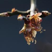 昨日は終日雨模様 今朝の梅の花