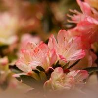 ツツジ (花 4416)
