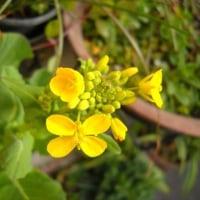 Ma fleur 花月  菜の花のような花が渡瀬さんが永眠された翌日咲き・・・