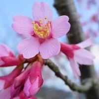 「昼下がりのさくら」 いわき 新川の桜並木にて撮影! チョウベイザクラ