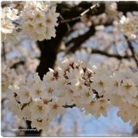 桜の つづき・・