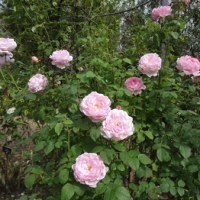 久しぶりの花菜ガーデン