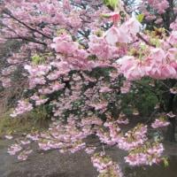 新宿御苑 陽光桜、枝垂れ桜、高遠小彼岸、ヒマラヤ緋桜 見頃に
