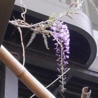 今日も大失敗をしてしまいました。藤の花が咲くころ毎年思い出しそう…。