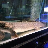 オルナティピンニス約52cm