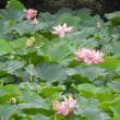 水戸市鯉淵の寺池の蓮