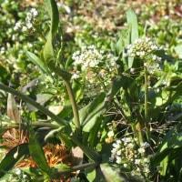 あぜに咲いた早春の野草3種