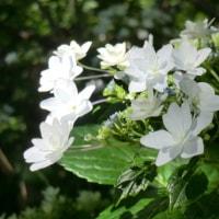 伊坂ダムの紫陽花
