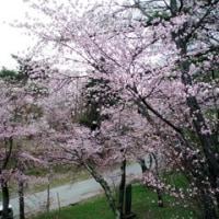 桂ヶ岡公園の桜