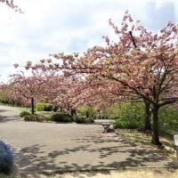植物公園の八重桜