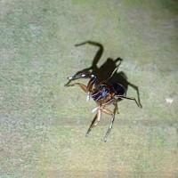 奄美大島のクモ:美麗種のハエトリグモ、カラオビハエトリ(オビハエトリグモ属の一種)