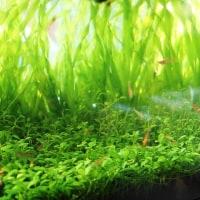 カリウム水溶液の藻、アオミドロ防止効果について