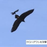 ワシを攻撃するカラス