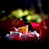 椿のしつらい 椿花ガーデン@伊豆大島