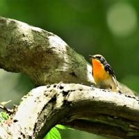 今日の野鳥   キビタキ・コサメビタキ